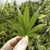 Gros plan sur une feuille de cannabis tenue entre deux doigts.