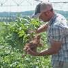 Gordon McKenna examine un plant de pommes de terre dans un champ.