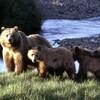 Une mère grizzly et trois oursons, sur les rives d'un cours d'eau.