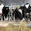 Des vaches qui se nourrissent.