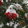 Des baies rouges recouvertes de neige.