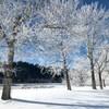 Des arbres enneigés.