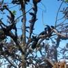 Le nodule noir du prunier, une maladie particulièrement funeste.