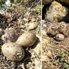 Des oisillons et des oeufs de goélands dans un nid.