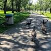 Des bernaches marchent sur un sentier du parc Wascana.