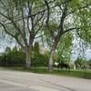 Un orignal marche dans un cimetière.
