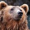 Une tête d'ours. .