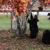 Deux ours sous un arbre, un autre marche en arrière-plan sur un terrain bordé d'une clôture.