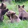 Les trois bébés grizzlis au zoo du Grand Vancouver.