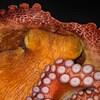 Une pieuvre dans un aquarium au moment où elle rêverait.