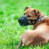 Un pitbull terrier avec une muselière.