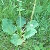 Gros plan sur une mauvaise herbe verte dans le gazon.