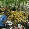 Des ouvriers agricoles assis par terre autour d'un amas de fèves de cacao.