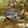 Une tortue serpentine sur des roches dans un lac.