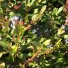 Un plant de bleuets sur la Côte-Nord.
