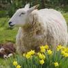 Mouton au champ.