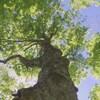 érable à sucre attaqué par la livrée des forêt