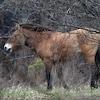 Deux chevaux de de Przewalski sortent d'une forêt.