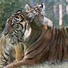 Photo d'un petit tigre qui monte sur le dos d'un tigre adulte.