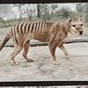 Image tirée de la vidéo colorisée du dernier tigre de Tasmanie.