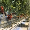 Les tomates des Serres Bleues de Chapais sont arrivées sur le marché fin décembre.