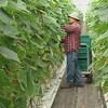 Un homme habillé pour travailler est debout dans une allée avec des bacs pour y déposer les légumes. Il a les bras dans les feuilles pour cueillir un concombre.