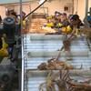 Travailleurs de l'usine de transformation du crabe des neiges