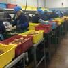 Dans une usine, des employés, vêtus de combinaisons de travail et de chapeau de sécurité, trient et pèsent des crabes près de paniers de plastique.
