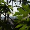 Vue sur pont de Québec entre les feuilles de papayers.