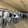 Des vaches mangent du foin dans l'étable.