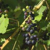 grappe de raisin malade sur vigne