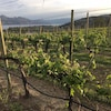 Des vignes près de Kelowna