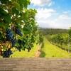 Des raisins en avant-plan, et un vignoble à l'arrière-plan