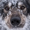 Gros plan sur le visage enneigé d'un chien.