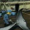 Un pêcheur casqué transperce avec un harpon la partie arrière d'une baleine.