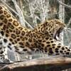 Un léopard de l'amour s'étire à travers des branches en ouvrant la gueule.