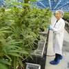 Une employée de l'entreprise Hexo Corp examine des plants de cannabis dans une serre.