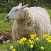 Mouton devant des jonquilles dans un champ ou est couché un chien.