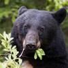 Un ours noir mange des feuilles.