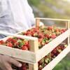 Un homme tient dans ses mains deux cagettes remplies de fraises.