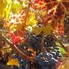 Des raisins sur une vigne dans la vallée de l'Okanagan en Colombie-Britannique