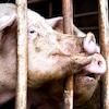Deux porcs derrières des barrières