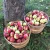 Deux gros paniers remplis de pommes sauvages.