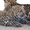 Milan, le léopard de l'Amour du Zoo de Granby, est couché sur le sol à côté de sa mère.