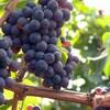 Des vignes de raisins bleus.