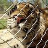 Une tigre est captif derrière une clôture.