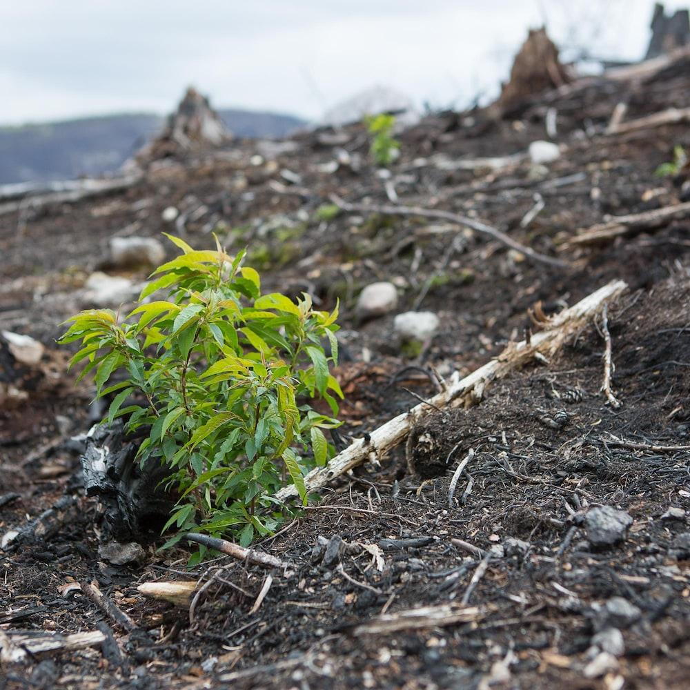 Un arbuste vert émerge du sol noirci par le feu.