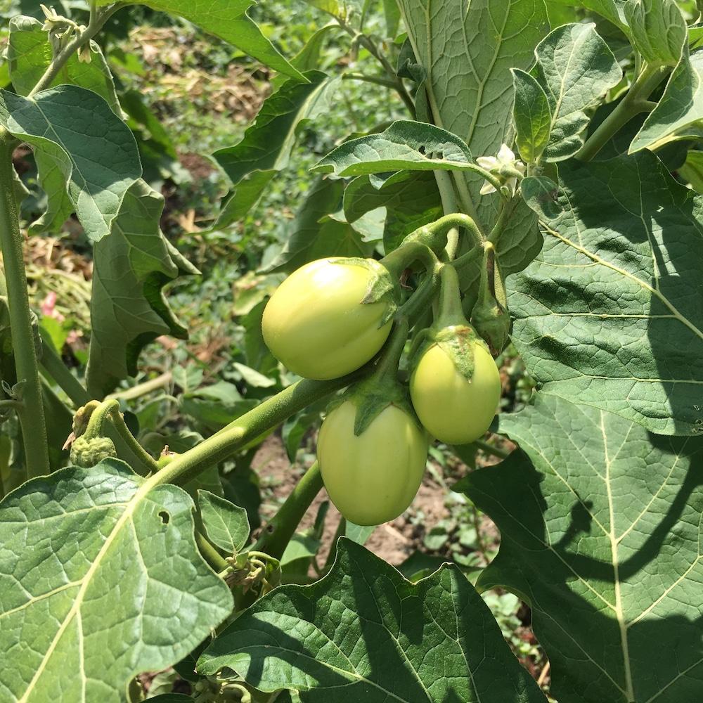 Des aubergines africaines pas encore à maturité sur leur plant
