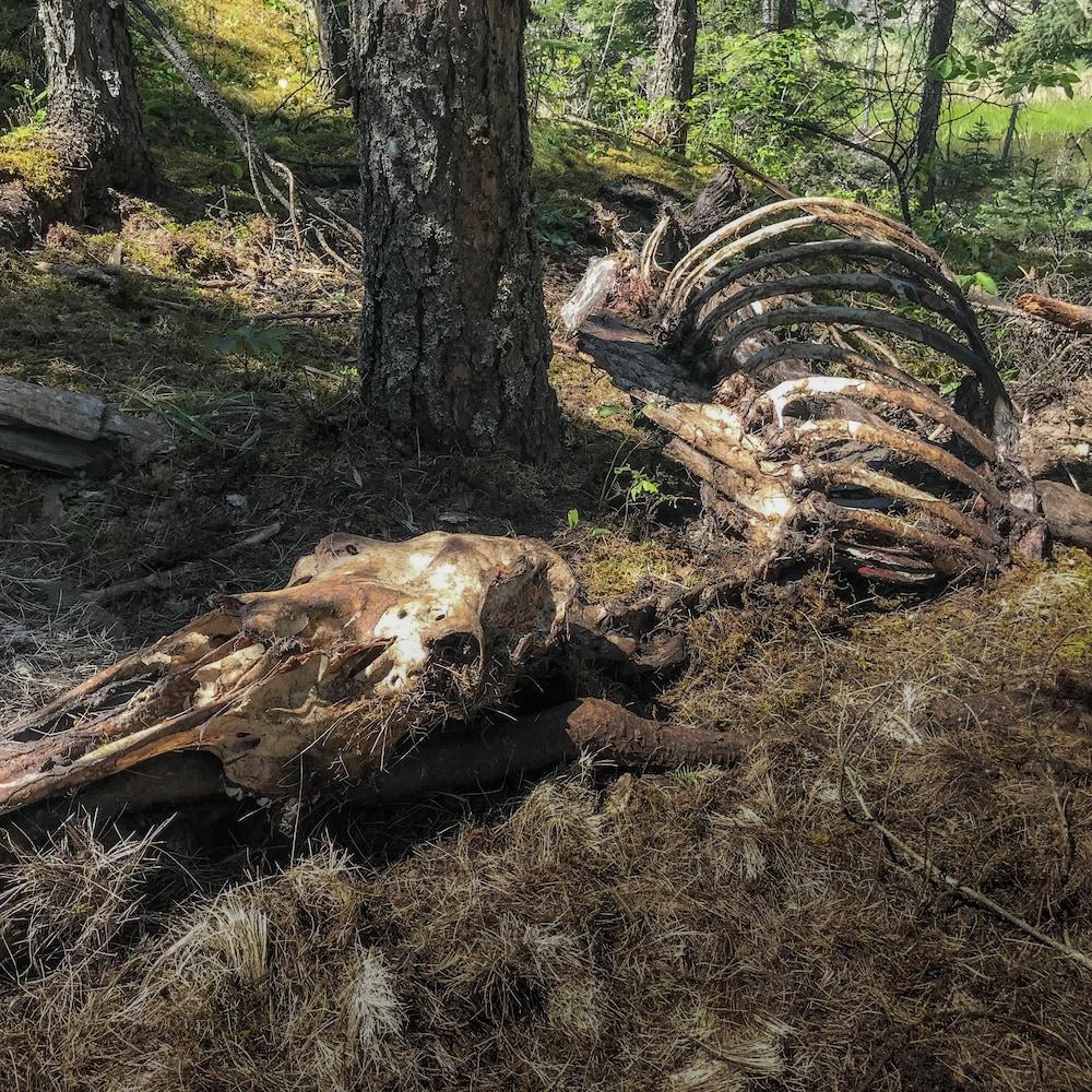 Une carcasse d'orignal en forêt