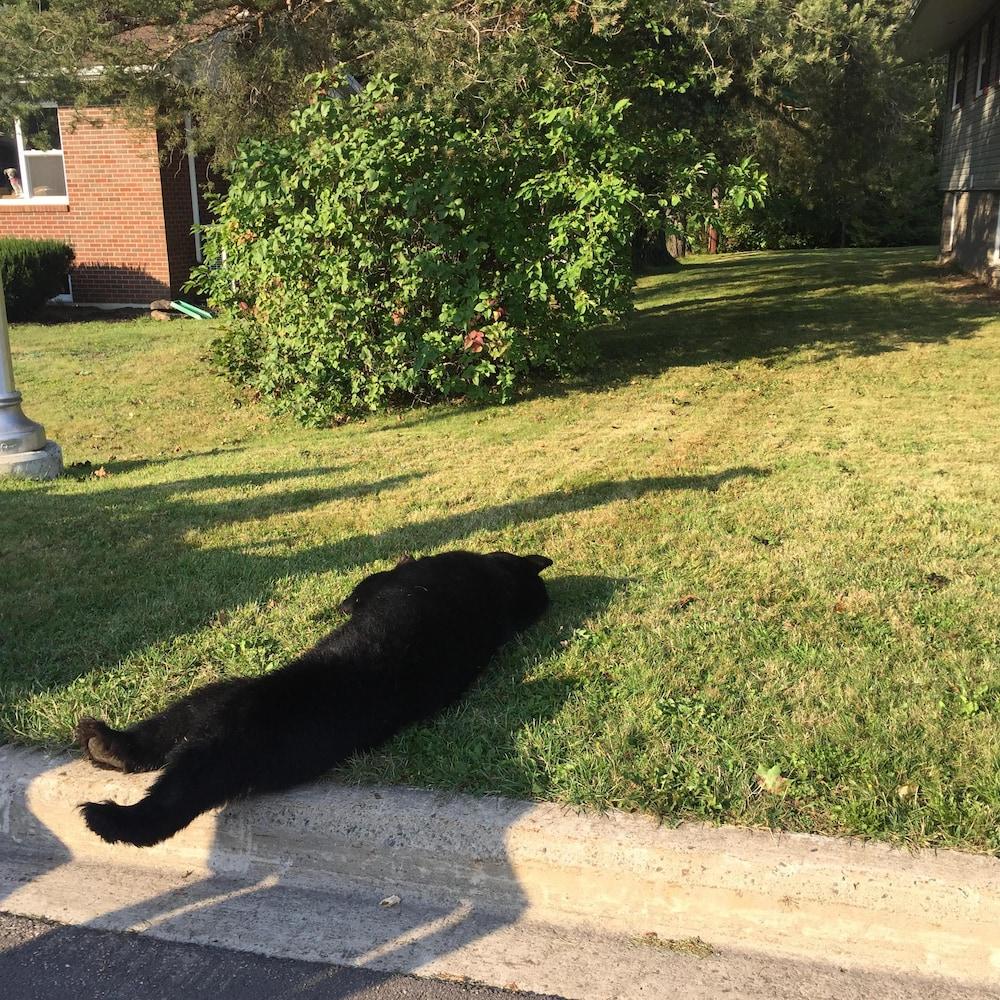 L'ours gît une une pelouse après avoir été abattu.
